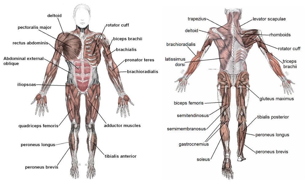 Muskler - Översikt över musklerna på framsida och baksida